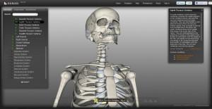 BioDigital Human Skelet